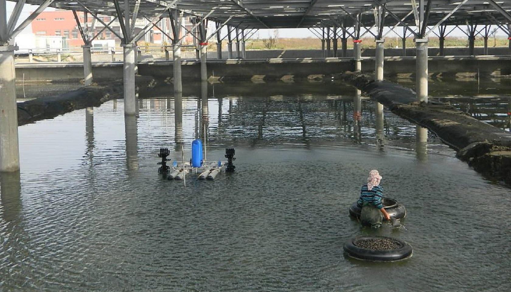 漁電共生 魚塭種電試驗成果豐碩